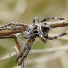 Backobourkia sp. (genus) (An orb weaver) at Tuggeranong DC, ACT - 25 Sep 2021 by HelenCross