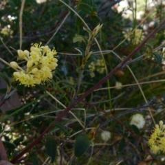 Pomaderris andromedifolia (TBC) at Boro, NSW - 23 Sep 2021 by Paul4K
