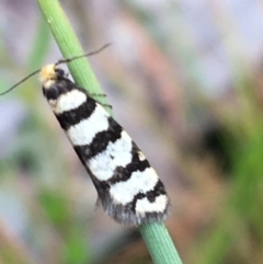 Lepidoscia (genus) (Unidentified cone case moth) at Bruce, ACT - 22 Sep 2021 by Ned_Johnston