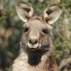 Macropus giganteus (Eastern Grey Kangaroo) at Kambah, ACT - 23 Sep 2021 by MatthewFrawley