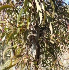 Muellerina eucalyptoides (Creeping Mistletoe) at Kambah, ACT - 23 Sep 2021 by MatthewFrawley