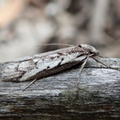 Philobota stella (A concealer moth) at Cook, ACT - 20 Sep 2021 by CathB