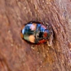 Paropsisterna beata (Eucalyptus leaf beetle) at Point One - 25 Sep 2021 by LisaH