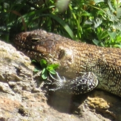 Egernia cunninghami (Cunningham's Skink) at Latham, ACT - 25 Sep 2021 by Christine