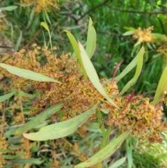 Acacia rubida (Red-leaved Wattle) at Holt, ACT - 26 Sep 2021 by tpreston