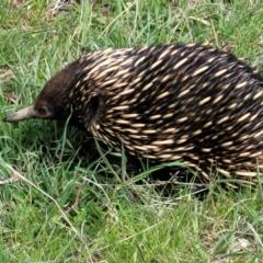 Tachyglossus aculeatus (Short-beaked Echidna) at Molonglo Valley, ACT - 26 Sep 2021 by tpreston