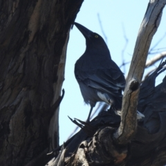 Strepera versicolor (Grey Currawong) at Carwoola, NSW - 26 Sep 2021 by Liam.m