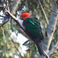 Alisterus scapularis (Australian King-Parrot) at Greenleigh, NSW - 14 Aug 2021 by LyndalT