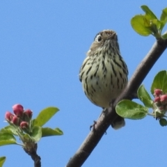 Pyrrholaemus sagittatus (Speckled Warbler) at Tuggeranong DC, ACT - 26 Sep 2021 by HelenCross