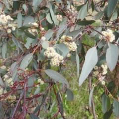 Eucalyptus polyanthemos (Red Box) at Tuggeranong DC, ACT - 26 Sep 2021 by HelenCross