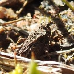 Tetrigidae (family) (Pygmy grasshopper) at Tuggeranong DC, ACT - 26 Sep 2021 by HelenCross