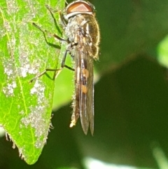 Melangyna sp. (TBC) at Turner, ACT - 26 Sep 2021 by LD12