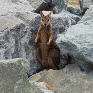 Unidentified Kangaroo / Wallaby (TBC) at suppressed by TerryS