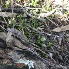 Carex breviculmis (Short-Stem Sedge) at Garran, ACT - 20 Sep 2021 by Tapirlord