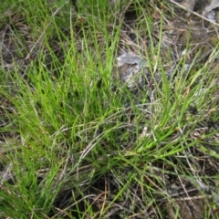 Schoenus apogon (Common Bog Sedge) at Hall, ACT - 26 Sep 2021 by pinnaCLE