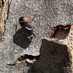 Eurymeloides bicincta (Gumtree hopper) at Murrumbateman, NSW - 26 Sep 2021 by SimoneC