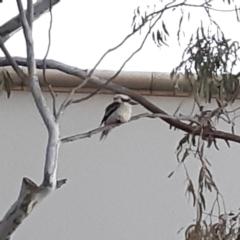 Dacelo novaeguineae (Laughing Kookaburra) at Bruce, ACT - 21 Sep 2021 by alell
