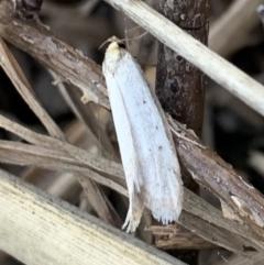 Philobota mathematica group undescribed species. (A concealer moth) at Murrumbateman, NSW - 25 Sep 2021 by SimoneC