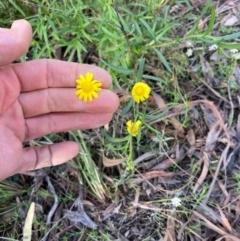 Senecio madagascariensis (Fireweed) at Yarralumla, ACT - 25 Sep 2021 by NickiTaws