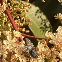 Calliphora sp. (Calliphora blowfly) at Kambah, ACT - 26 Sep 2021 by Ikkm
