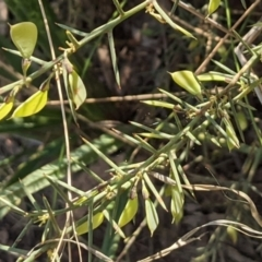 Daviesia genistifolia (Broom Bitter Pea) at Hackett, ACT - 26 Sep 2021 by abread111