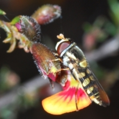 Simosyrphus grandicornis (Common hover fly) at Aranda, ACT - 26 Sep 2021 by Harrisi