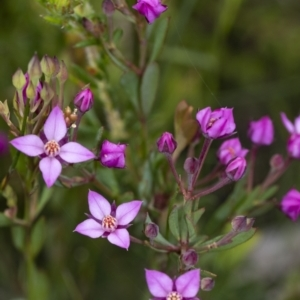 Boronia barkeriana subsp. angustifolia at Bundanoon, NSW - 26 Sep 2021