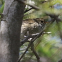 Acanthiza pusilla (Brown Thornbill) at Theodore, ACT - 25 Sep 2021 by RodDeb