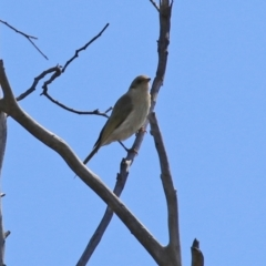 Ptilotula fusca (Fuscous Honeyeater) at Theodore, ACT - 25 Sep 2021 by RodDeb