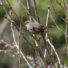 Sericornis frontalis (White-browed Scrubwren) at Theodore, ACT - 25 Sep 2021 by RodDeb