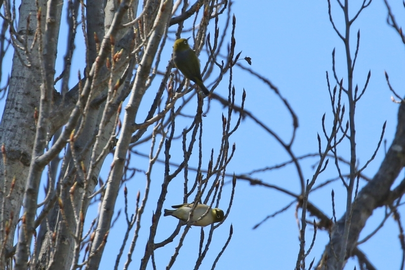 Zosterops lateralis at Theodore, ACT - 25 Sep 2021