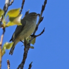 Smicrornis brevirostris (Weebill) at Theodore, ACT - 25 Sep 2021 by RodDeb