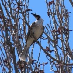 Philemon corniculatus (Noisy Friarbird) at Theodore, ACT - 25 Sep 2021 by RodDeb