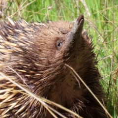 Tachyglossus aculeatus (Short-beaked Echidna) at Theodore, ACT - 25 Sep 2021 by RodDeb