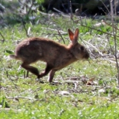 Oryctolagus cuniculus (European Rabbit) at Hume, ACT - 26 Sep 2021 by RodDeb