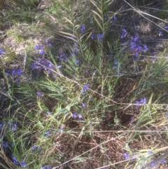 Stypandra glauca (Nodding Blue Lily) at Bruce, ACT - 25 Sep 2021 by jgiacon