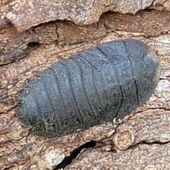 Laxta granicollis (Common bark or trilobite cockroach) at Holt, ACT - 27 Sep 2021 by tpreston