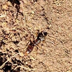 Ponerinae (subfamily) at Holt, ACT - 27 Sep 2021 by tpreston
