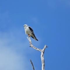 Elanus axillaris (Black-shouldered Kite) at Holt, ACT - 27 Sep 2021 by wombey