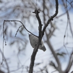 Daphoenositta chrysoptera (Varied Sittella) at Holt, ACT - 27 Sep 2021 by wombey