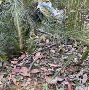 Acianthus caudatus at Balmoral, NSW - 26 Sep 2021