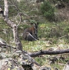 Macropus rufogriseus (Red-necked Wallaby) at Theodore, ACT - 27 Sep 2021 by euanfraser