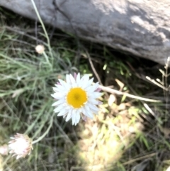 Leucochrysum albicans subsp. tricolor (Hoary Sunray) at Bruce, ACT - 25 Sep 2021 by goyenjudy