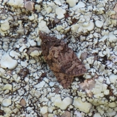Thrincophora impletana (TBC) at Cook, ACT - 27 Sep 2021 by Christine