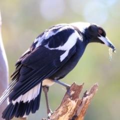Gymnorhina tibicen (Australian Magpie) at Glenroy, NSW - 26 Sep 2021 by Kyliegw