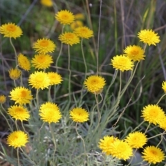 Leucochrysum albicans subsp. albicans (Hoary Sunray) at Glenroy, NSW - 27 Sep 2021 by Kyliegw
