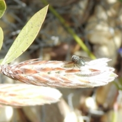 Calliphora sp. (genus) (TBC) at Aranda, ACT - 27 Sep 2021 by KMcCue