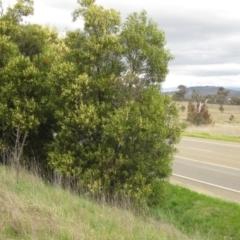 Acacia melanoxylon (Blackwood) at Holt, ACT - 12 Sep 2021 by pinnaCLE