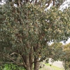 Eucalyptus polyanthemos (Red Box) at Holt, ACT - 12 Sep 2021 by pinnaCLE
