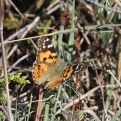 Vanessa kershawi (Australian Painted Lady) at Holt, ACT - 27 Sep 2021 by Tammy